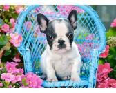 Cucciolo di bulldog francese - PUZZLE PER BAMBINI