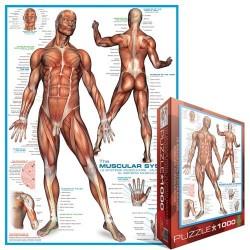 Sistema degli muscoli umani