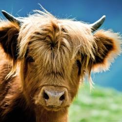 Mucca di Scozia